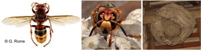 frelons,espèces invasives,écosystème,vidéo,documentaire