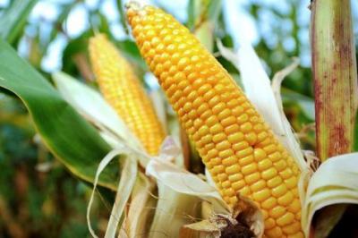 ogm,monsanto,maïs,agriculture biologique,ong