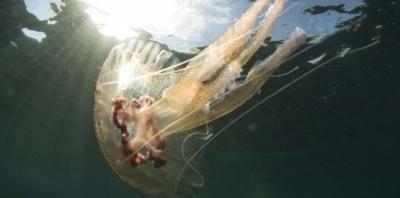 méduses,mer,océans,pêche,pollution,changements climatiques