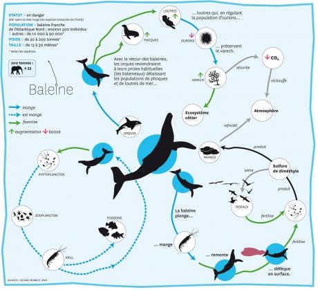 écosystème,environnement,océans,cétacés,baleines,varech,krill