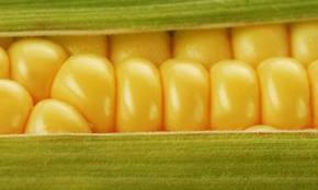 ogm,monsanto,maïs,santé,sciences,alimentation,herbicide,roundup