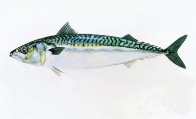 pêche,maquereau,poissons,développement durable,océans,mer