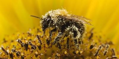 abeilles,apiculture,pesticides,céréales,europe,écosystème,pollution