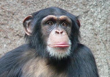 chimpanse.jpg