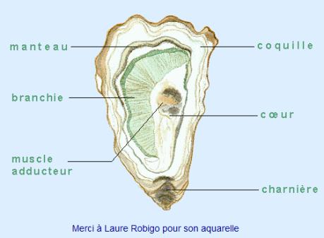 huitre02.png