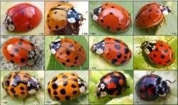 coccinelle,coccinelles,potagers,agriculture biologique,insectes,insecticides