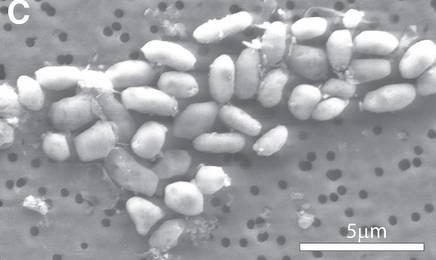 bacterie-arsenic.jpg