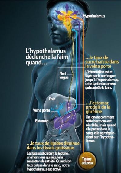 alimentation,faim,santé,cerveau,glucose,lipides,biologie,senteurs
