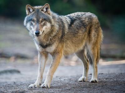 loups,biodiversité,alpages,espagne,italie,montagne,élevage,france,chasse,écosystème,brebis