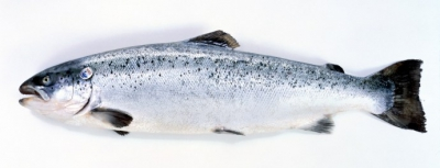 poissons,saumon,saumon fumé,consommation,pêche,norvege,aquaculture,pollution,vitamine,santé