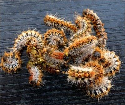insectes,foret,pin,bordeaux,arbres,oiseaux,inra