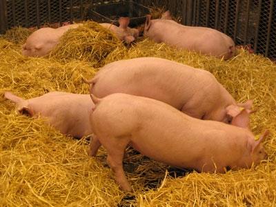 alimentation,alimentation biologique,élevage,santé,médecine,bactéries