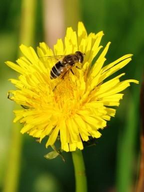pollinisateur,pollinisation,abeilles,apiculture,sciences,insectes