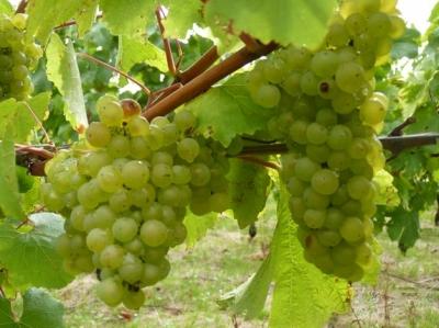 vins,viticulture,météo,vigne,récolte
