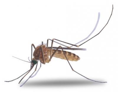 moustique,insecte,été,acides aminés