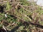 sapins-compost01.jpg