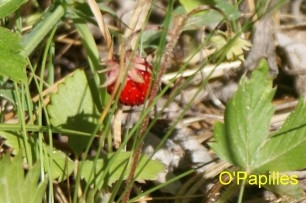 echinococcose-fraise.jpg