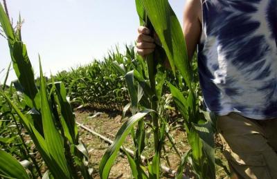 maïs,ogm,alimentation,herbicide,environnement,europe