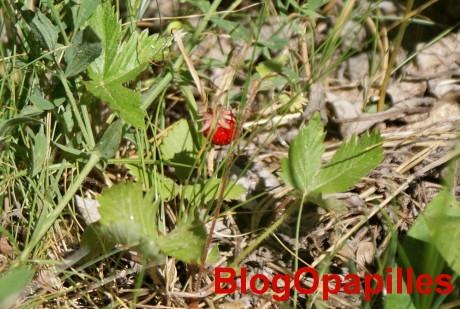 fraises-bois.jpg