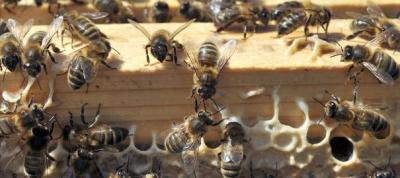 abeilles,apiculture,environnement,pollinisateur,pollinisation,fleurs,économie,greenpeace