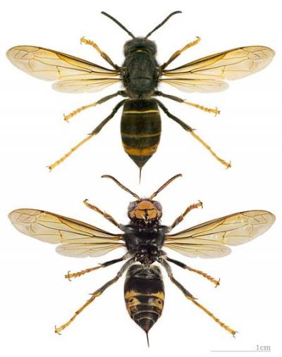 frelons,miel,espèces invasives,cnrs,pollen,apiculture