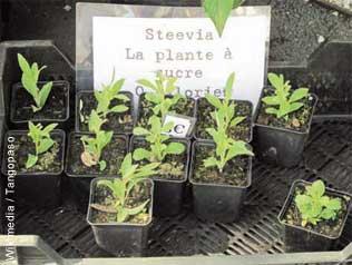 stevia,sucre,alimentation,santé,consommation,plantes,additifs