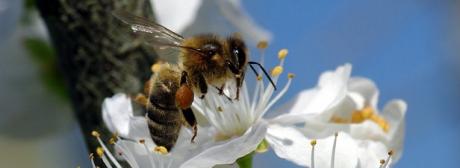 abeilles,apiculture,insecticides,semences,environnement,scien