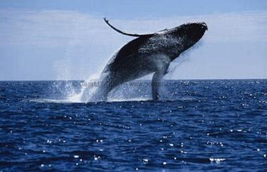 baleines,mer,océan,pêche,environnement