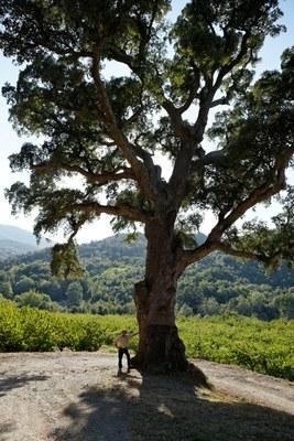 pyrénées orientales,arbre,bois,liège,botanique