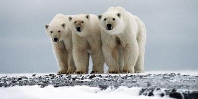 chasse,ours,commerce,espèces menacées,arctique,changements climatiques