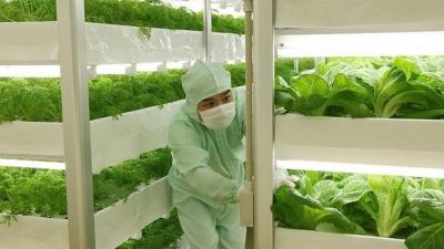agriculture,légumes,épinards,japon,technologies,pesticides