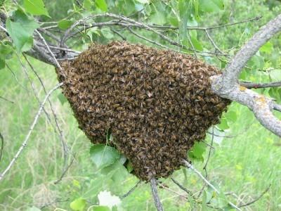 insectes,abeilles,gênes,évolution,cerveau