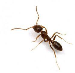 fourmis,méditerranée,espèces invasives,italie,espagne,france,insectes,commerce
