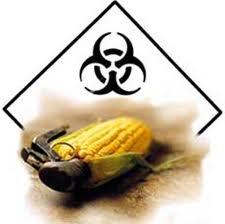 insecticides,insectes,maïs,amérique,monsanto,sciences,environnement,agriculture