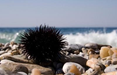 oursin,mer,méditerranée,surf,plage,vacances,médecine,santé