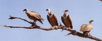 vautours,oiseaux,biodiversité,bergers,biologie,santé,écologie