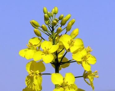 colza-fleur.png