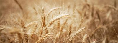 amérique,russie,blé,céréales,sécheresse,afrique,alimentation,population