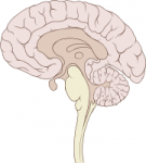cerveau2.png