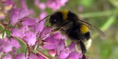 bourdons,abeille,agriculture,biodiversité,écosystème,urbanisation